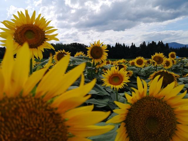 新潟県津南町ひまわり畑の迷路の開花状況写真画像