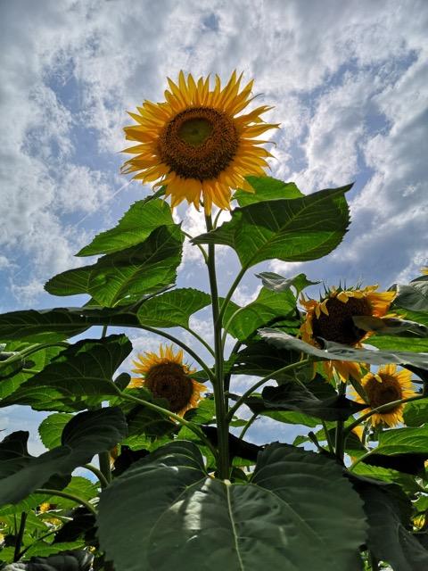 新潟県津南町ひまわり畑開花状況の写真画像