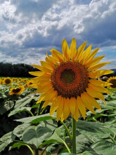 新潟県津南町ひまわり畑迷路の開花状況画像