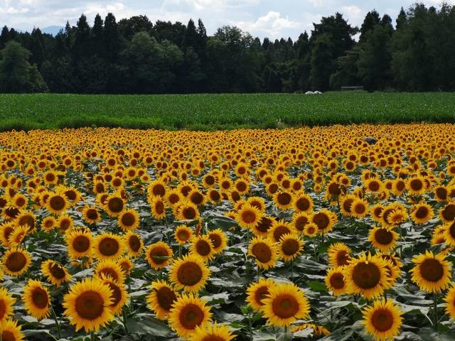 新潟県津南町ひまわり畑開花状況満開の写真画像