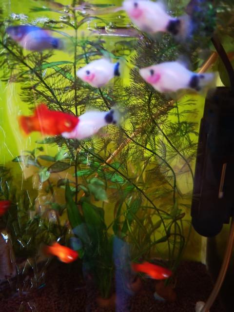 ミッキーマウスプラティ 癒し系熱帯魚 のおすすめ画像