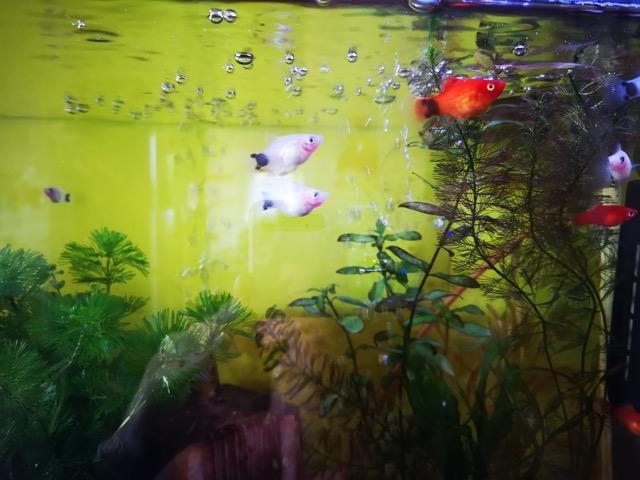 子育てママおすすめ癒しグッズの熱帯魚おすすめのミッキーマウスプラティ画像