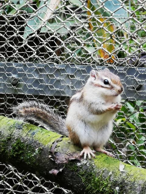 新潟県加茂市加茂山公園リス園のリスの餌やり画像