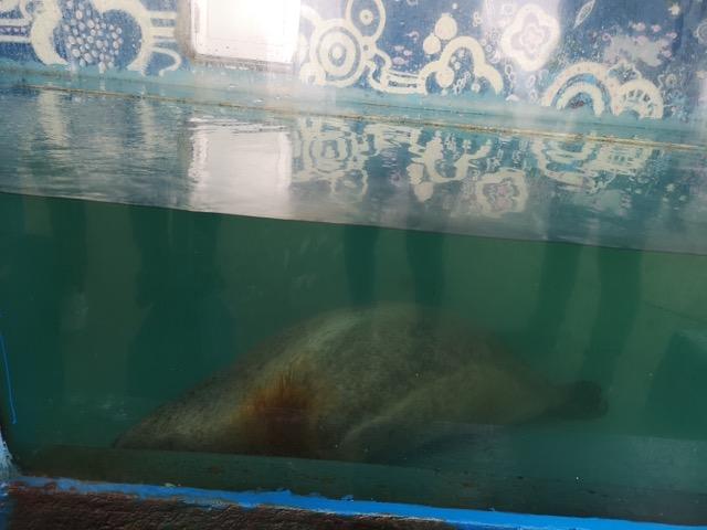 寺泊水族館ゴマフアザラシのぺぺ画像