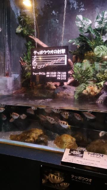 新潟県の子連れ穴場おすすめスポット寺泊水族博物館のテッポウウオ画像