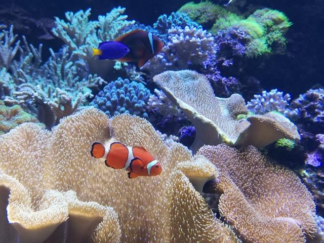 マリンピア日本海 ニモ カクレクマノミ画像