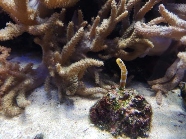 新潟県水族館マリンピア日本海のチンアナゴ画像