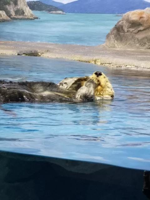 マリンピア日本海 ラッコ画像