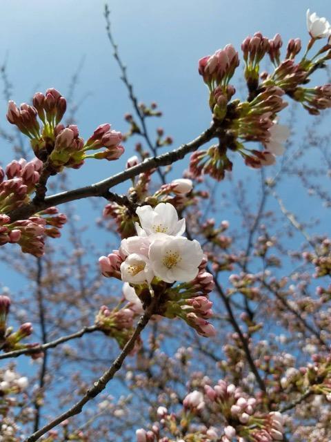 桜にまつわるエピソード
