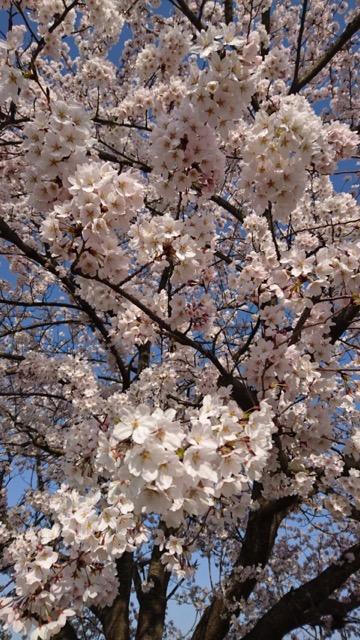 桜 エピソード