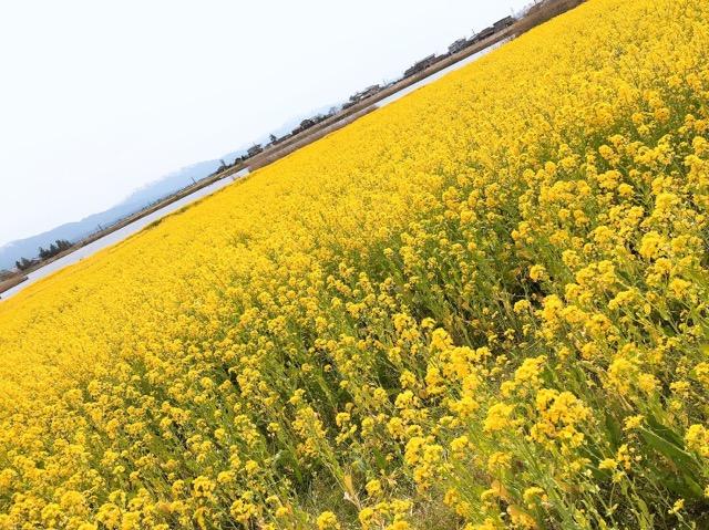 新潟福島潟の菜の花画像