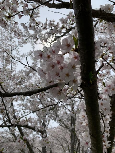 福島潟 桜画像