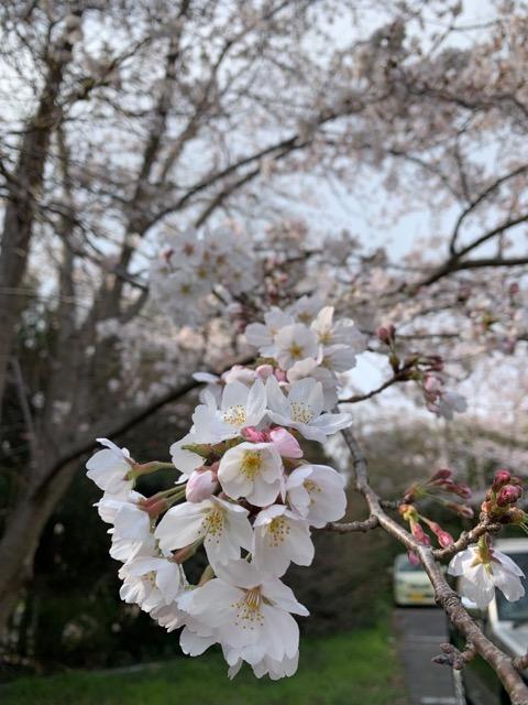 千葉市 板尾山 栄福寺の桜画像