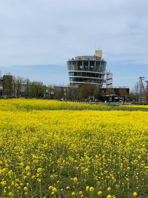 水の駅ビュー福島潟菜の花画像