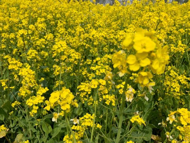 福島潟の菜の花画像