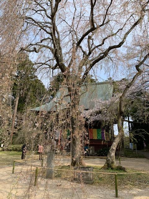 千葉市栄福寺枝垂れ桜の開花状況画像